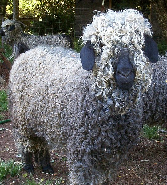 grandoman_kozi_goats