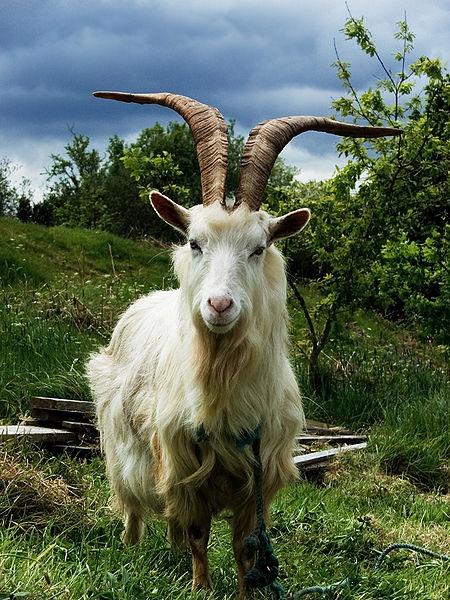 grandoman_kozi_goats450px-Irish_Goat
