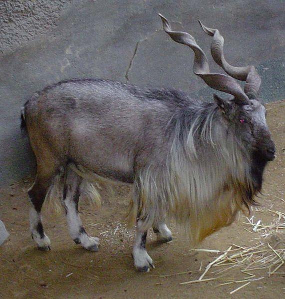grandoman_kozi_goats571px-Capra_falconeri_hepteneri