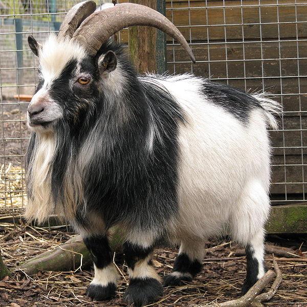 grandoman_kozi_goats600px-Too_much_ramming