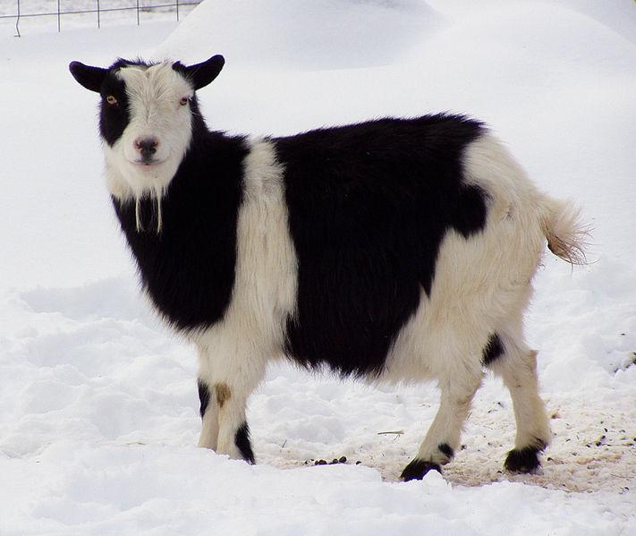 grandoman_kozi_goats711px-Nigerian_Dwarf_Goat_01
