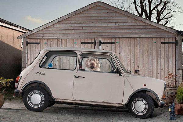 Кучета в коли (3)