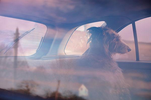 Кучета в коли (1)