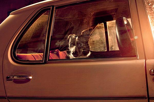 Кучета в коли (9)