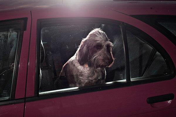Кучета в коли (8)